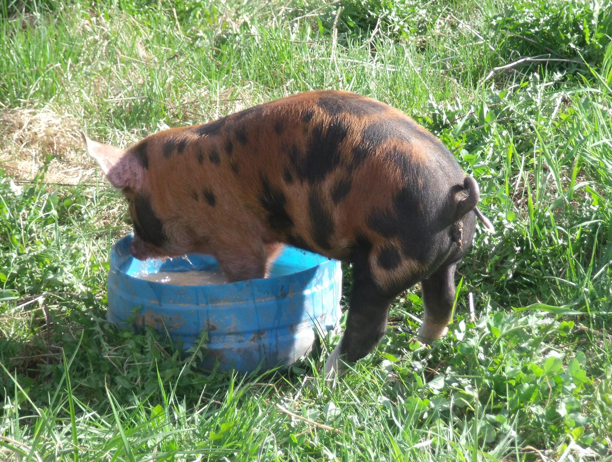 pigs arrive #2