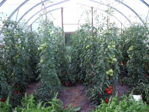 tomatoes in the greenhouse copy